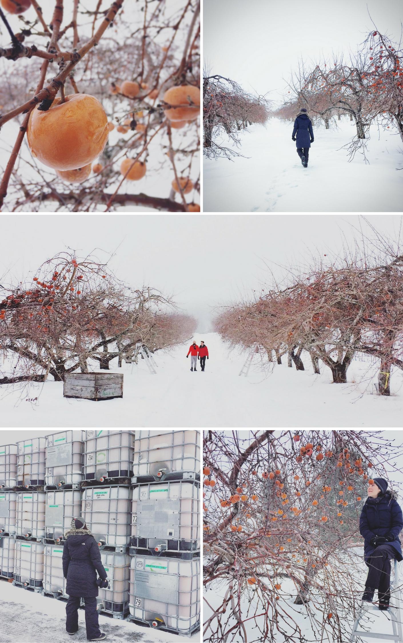 Visite du verger de pommes gelées
