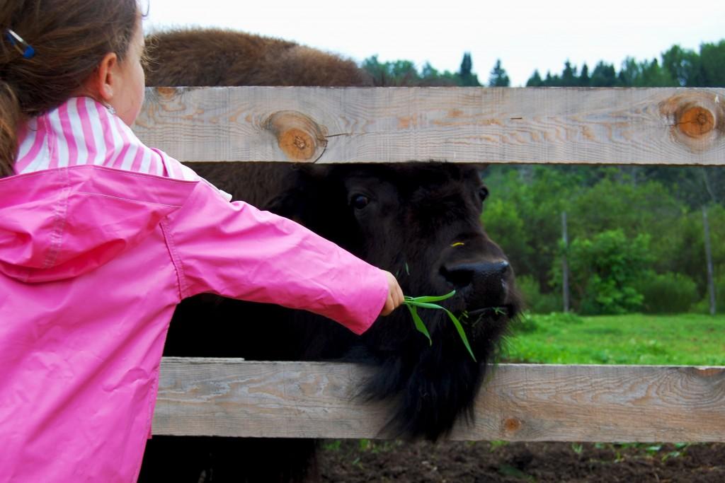 Bisons-zoe nourir