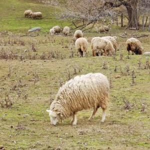 mouton charlevoix