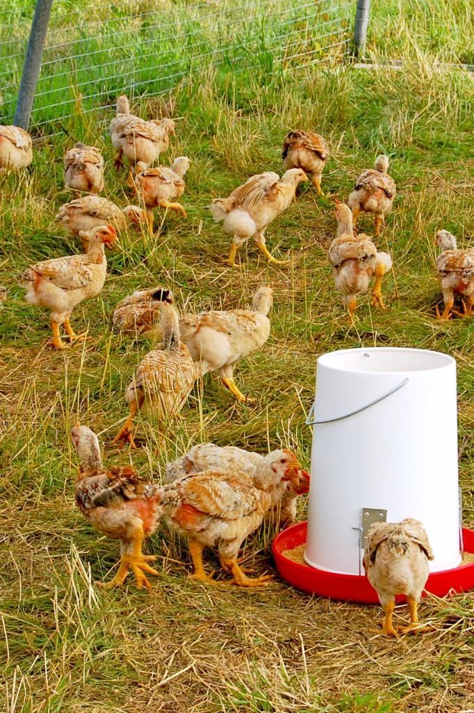 Limousins-poulet 2