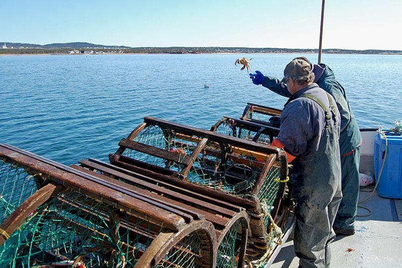 Remise à l'eau des homards