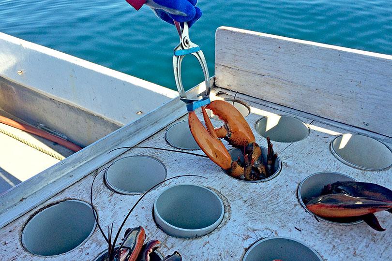 Élastique des homards