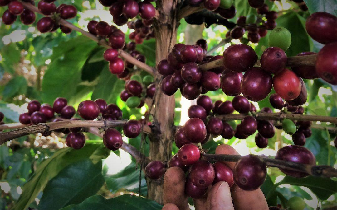 Café, de la forêt à la tasse